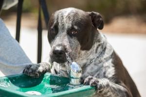 Slobbering dog drinking water